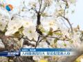 【花开盐城】(8)人间最美四月天 梨花似雪沁人心