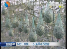 【富民路上】东台三仓镇:一只瓜带动万民富