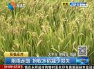 阴雨连绵 抢收水稻减少损失