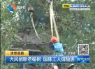 大风刮断老榆树 园林工人排隐患