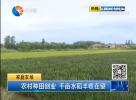 农村种田创业 千亩水稻丰收在望