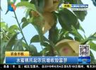 水蜜桃托起農民增收致富夢