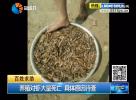 养殖对虾大量死亡 具体原因待查
