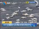 50只全球濒危鸟类黑脸琵鹭现身保护区